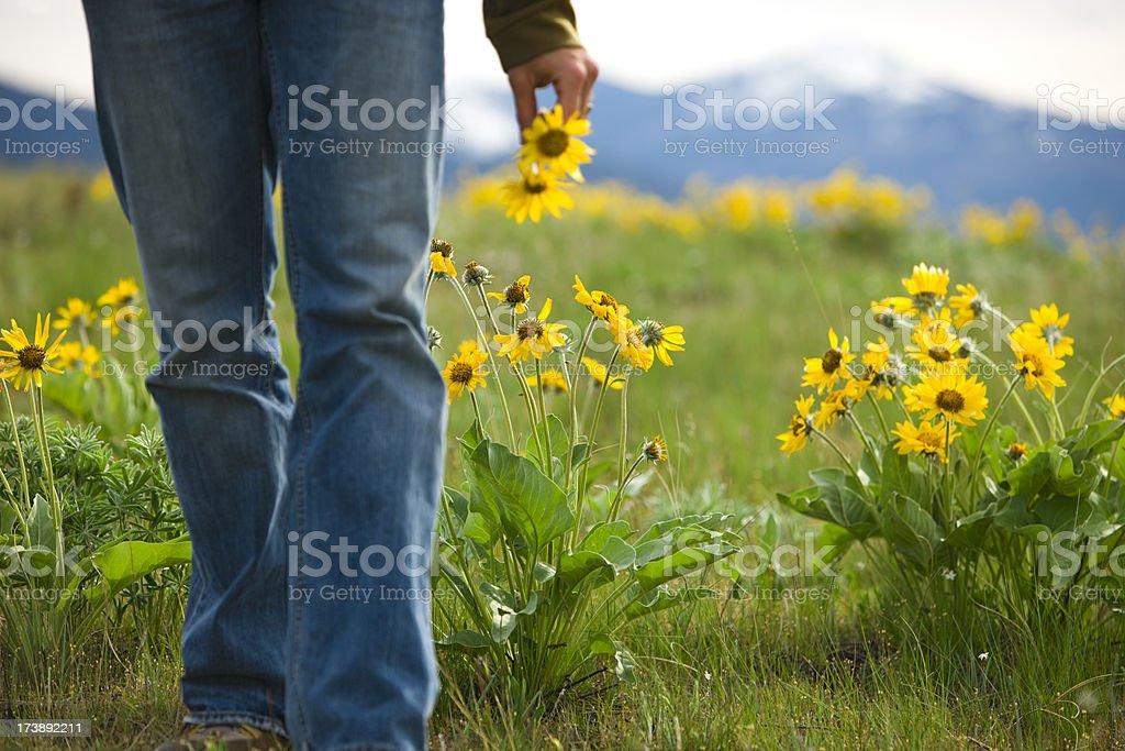 Man picking yellow daisies in mountain meadow. stock photo