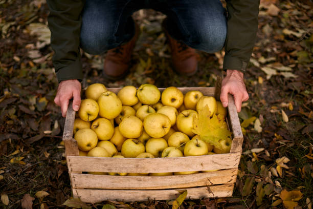 Man Picks Up Wooden Box Of Yellow Ripe Golden Apples In The Orchard Farm Grower