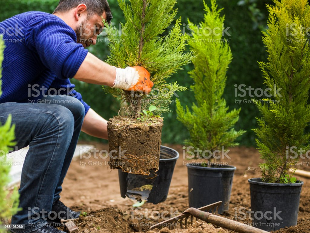 Man planting evergreen tree stock photo
