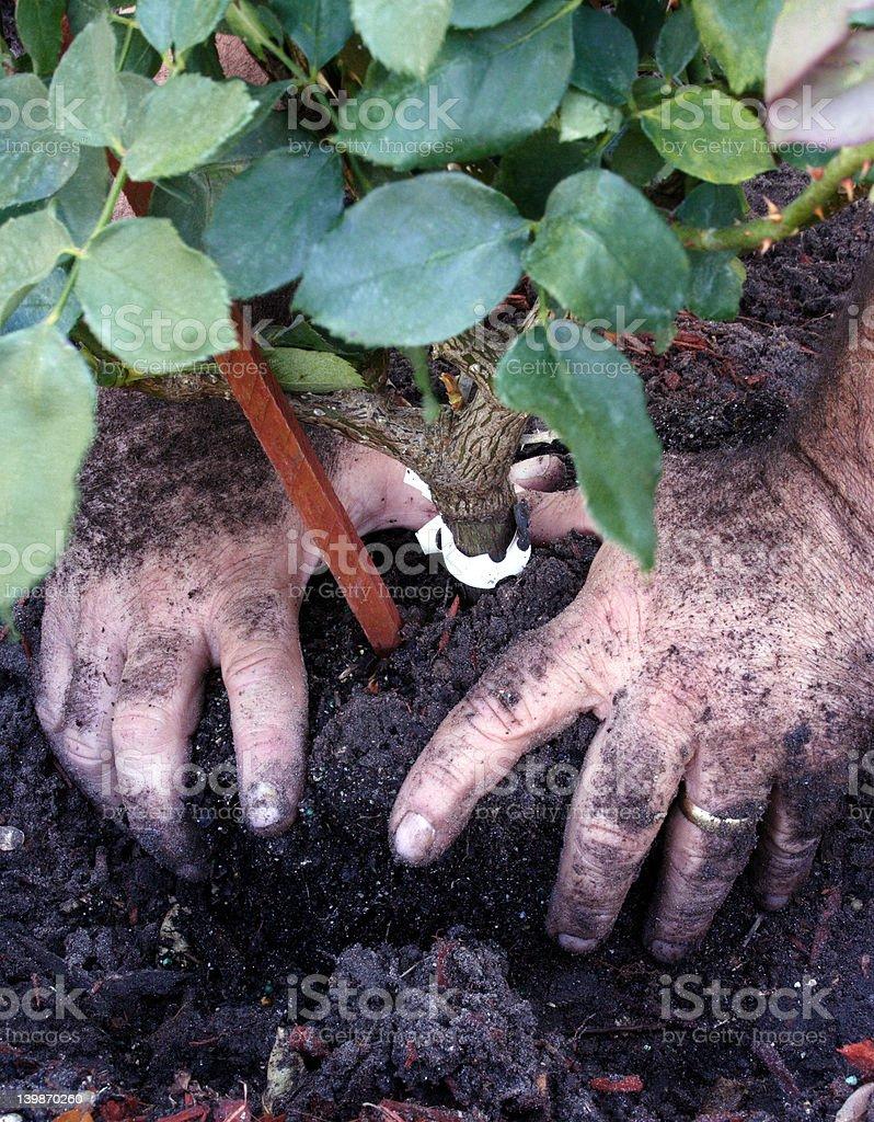man planting roses royalty-free stock photo