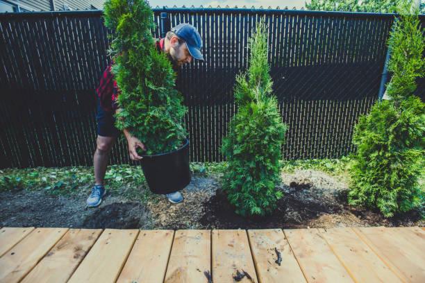 Man planting thuja in his back yard stock photo
