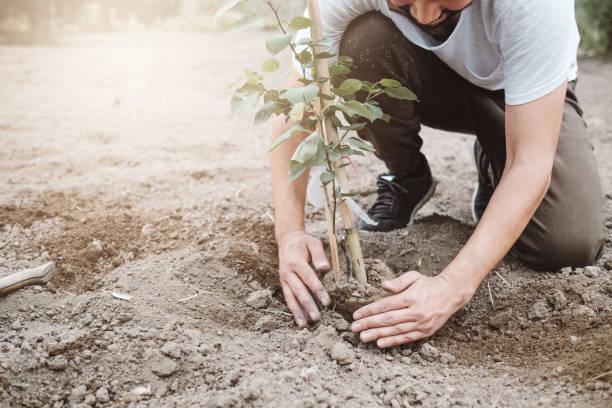 man plant boom buitenshuis in de lente - fruitboom stockfoto's en -beelden