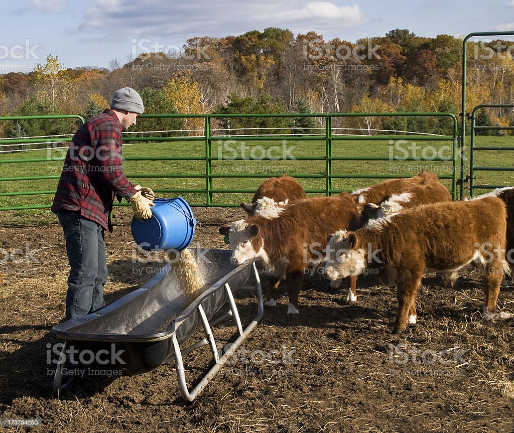 Man Pouring Corn Into Feed Bunk For Calves stock photo