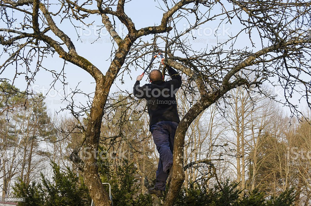 man pruned branches with handle clippers scissors stock photo