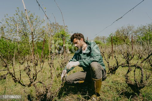 Photo of a man pruning a vine plant in his vineyard