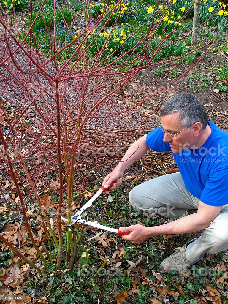Man pruning shrub royalty-free stock photo