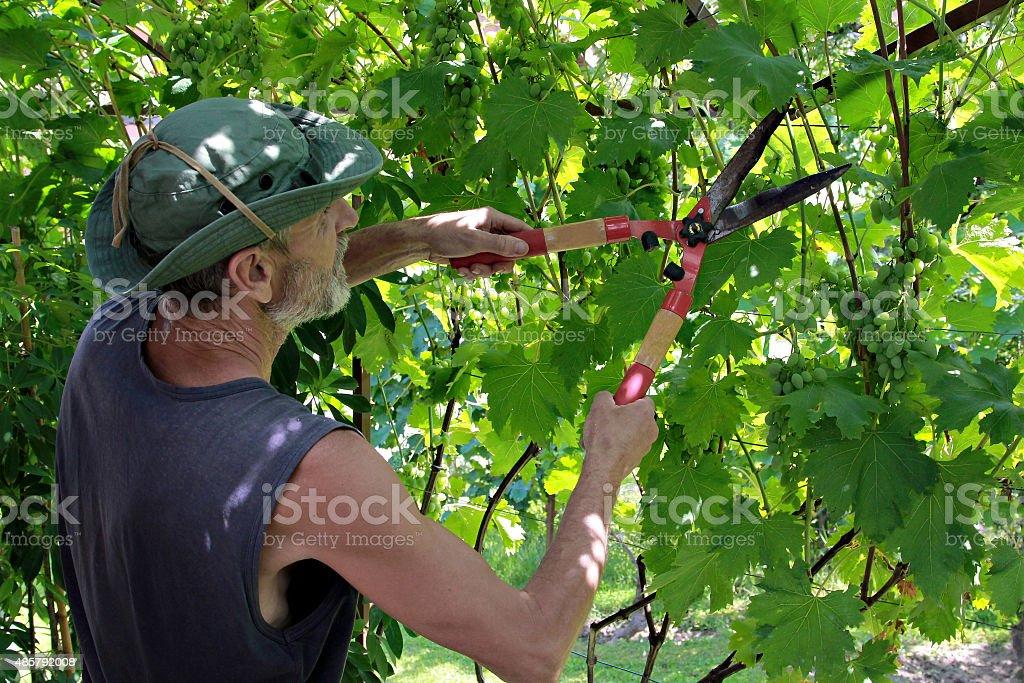 Man pruning the grapevine inside vineyard stock photo