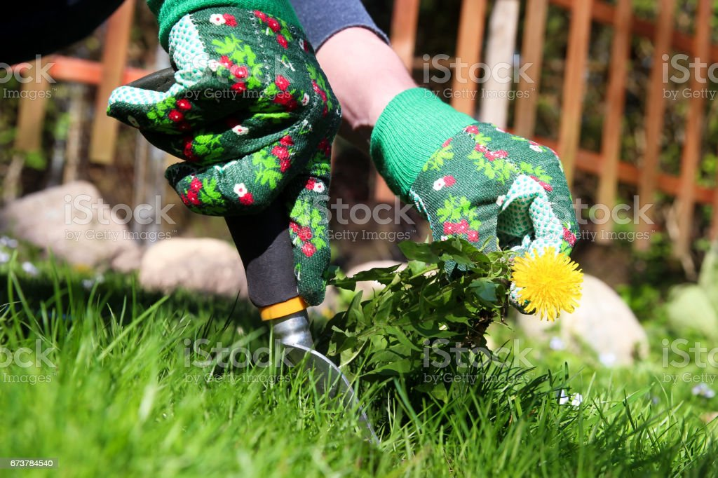 A man pulling  dandelion / weeds out from the grass  loan - foto de acervo