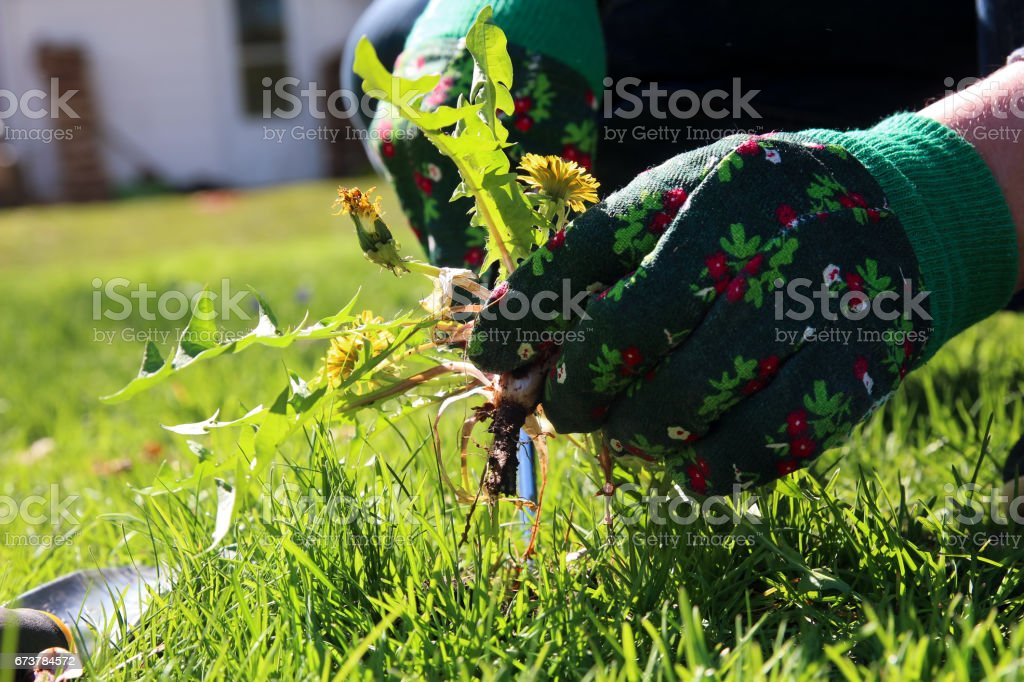 A man pulling  dandelion / weeds out from the grass  loan stock photo