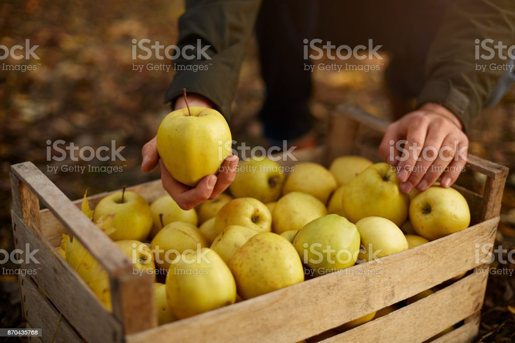 Man puts yellow ripe golden apple to a wooden box of yellow at the orchard farm. Grower harvesting in the garden and holding organic apple in his hand. Harvest autumn concept. Isolated view. Male shows a tasty fruit. stock photo