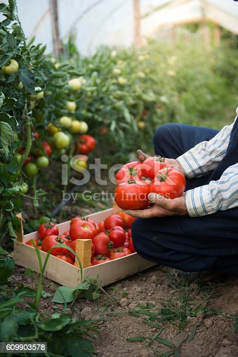 istock Man putting tomatoes from garden in a wooden crate 609903578