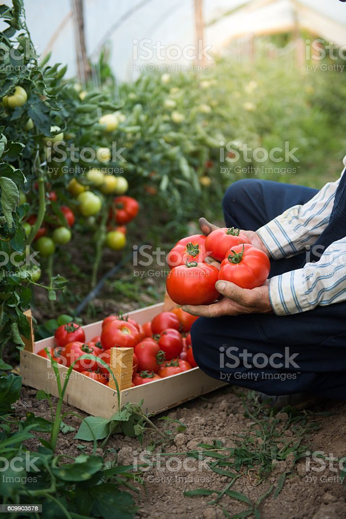 Man putting tomatoes from garden in a wooden crate - foto de stock