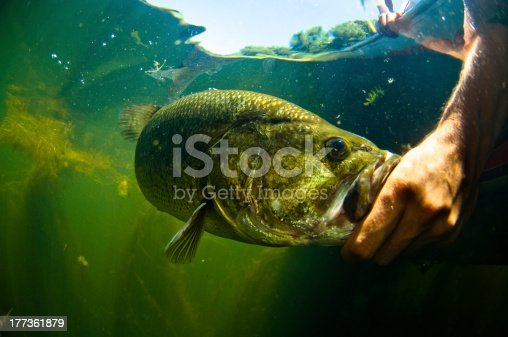 Large mouth bass fish gets released after being caught by a fisherman.