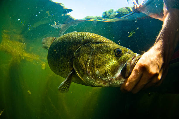 Man reaches into water and touches large mouth bass fish stock photo