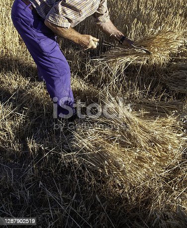 Man reaping wheat and working in the field, harvesting and gathering