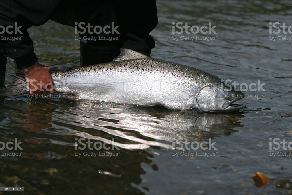 A man releasing an Alaska King Salmon into the sea stock photo