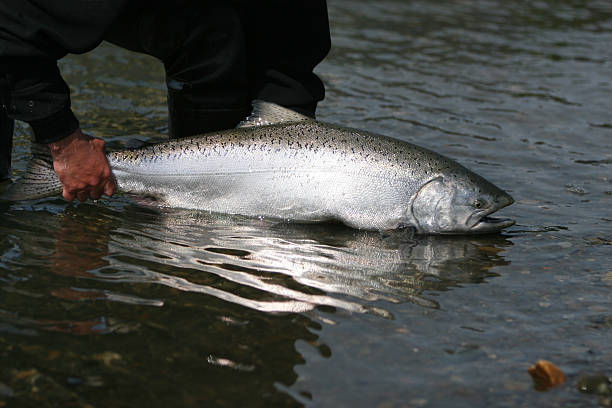 a man releasing an alaska king salmon into the sea - chinook salmon stock photos and pictures