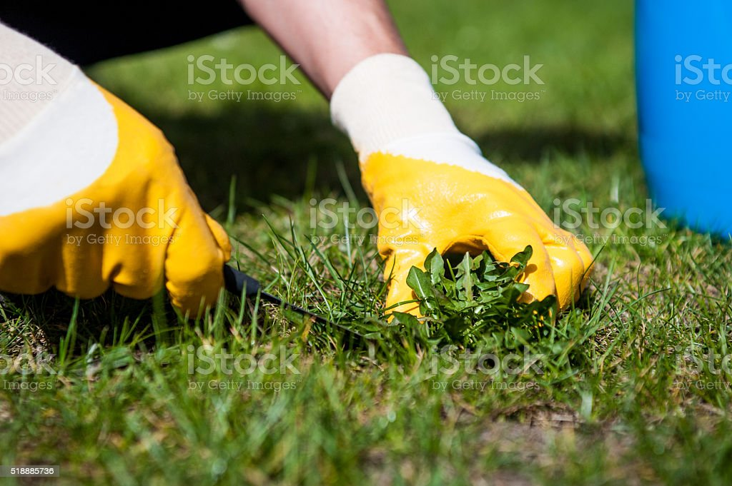 Man removes weeds from the lawn stock photo