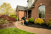 Adult man empties a large bag of black mulch around bushes in his front yard, performing home improvement and spring maintenance during the stay at home orders during Covid-19 pandemic.