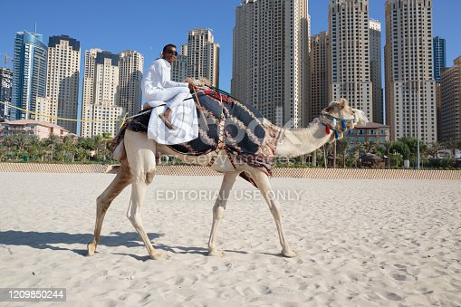DUBAI, UAE - NOVEMBER 11: High rise buildings and camel on the beach in Dubai Marina, on November 11, 2013, Dubai, UAE. In the city of artificial channel length of 3 kilometers along the Persian Gulf.