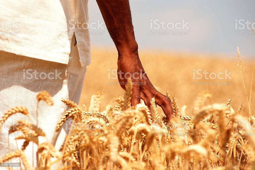 Man running fingers through wheat field stock photo