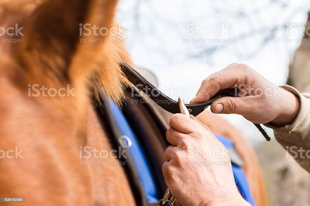Man saddling a horse and tighten the girth. stock photo