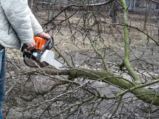 A man sawing a fallen branch of a fruit tree with chainsaw stock photo