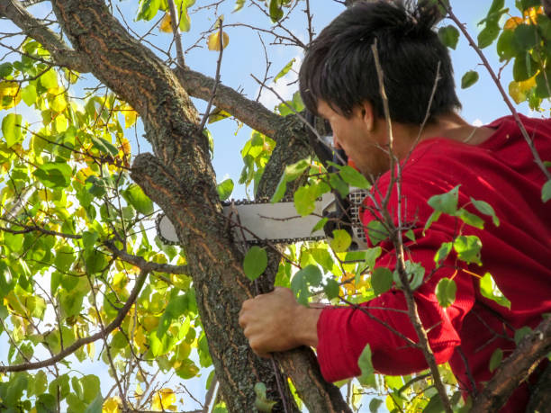 A man saws off a branch of an apricot tree with a chainsaw - view from the back. Dark-haired adult guy in red casual clothes, holding a tree with one hand, cuts branches in the garden stock photo