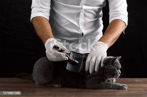 A man scratches a wool gray Scottish cat. The concept of caring for animals, pets, molting.