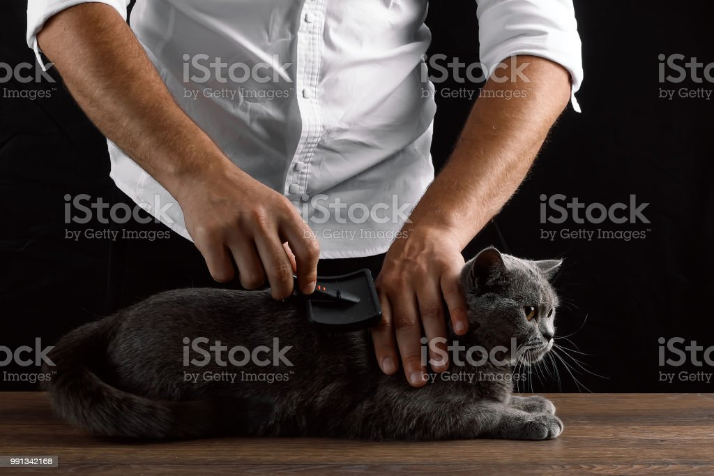 A man scratches a wool gray Scottish cat. The concept of caring for...