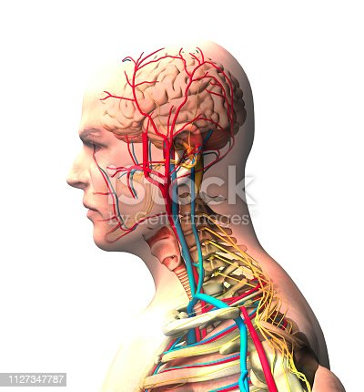 Man seen from the side, brain, face, x-ray view of arteries and veins, spine and rib cage. Human body, anatomy, 3d rendering