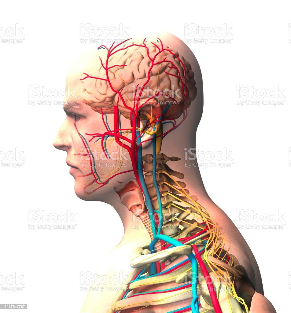 Mann gesehen von der Seite, Gehirn, Gesicht, Röntgenblick von Arterien und Venen, Wirbelsäule und Brustkorb – Foto