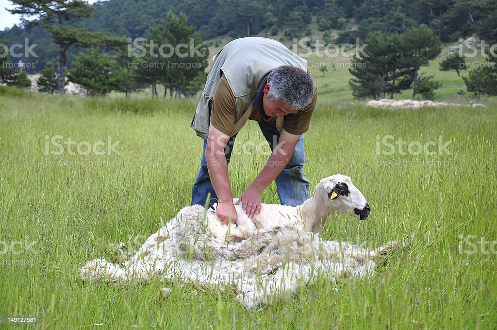 Man shearing a sheep in a green field on a sunny day stock photo