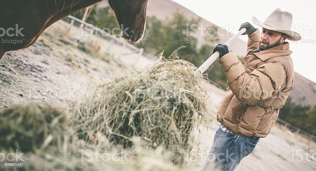 Man shovels hay to feed horse in pasture stock photo