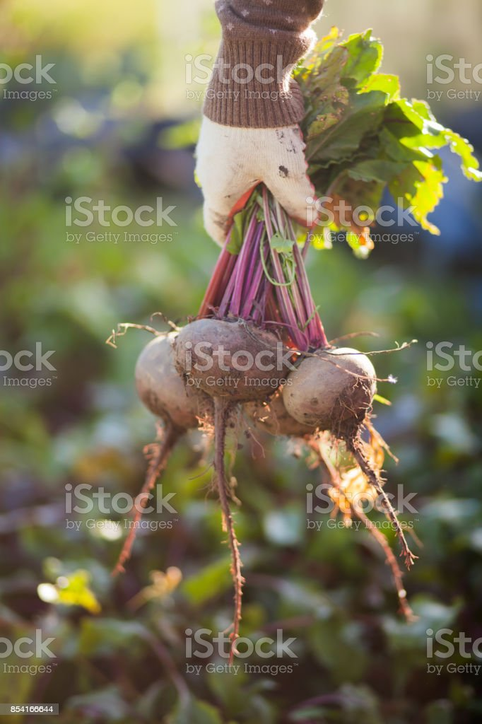 Man showing a bunch of beetroots, closeup. stock photo