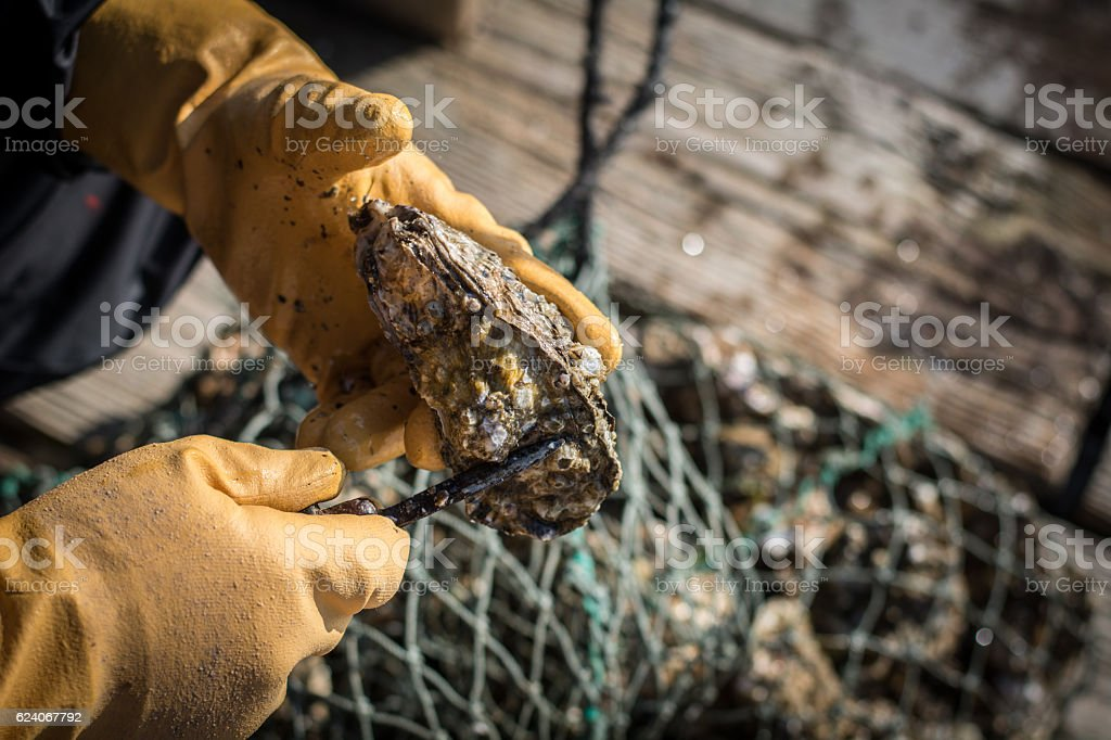 Man shucking oyster stock photo