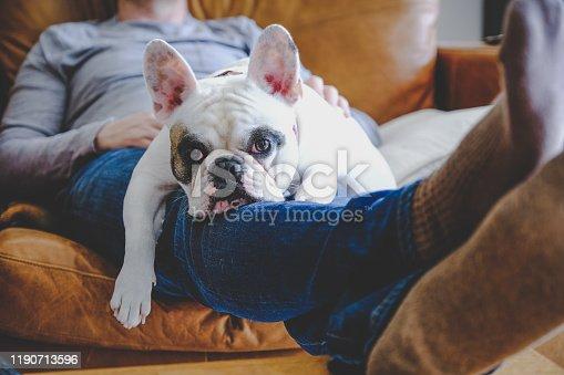 Frenchie dog relaxing on man lap on sofa