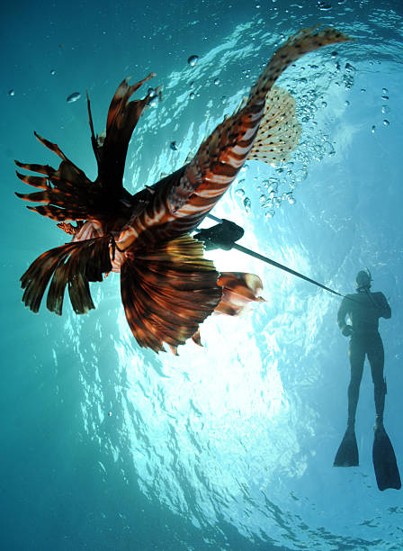 man spearfishing lionfish - lionfish stock photos and pictures