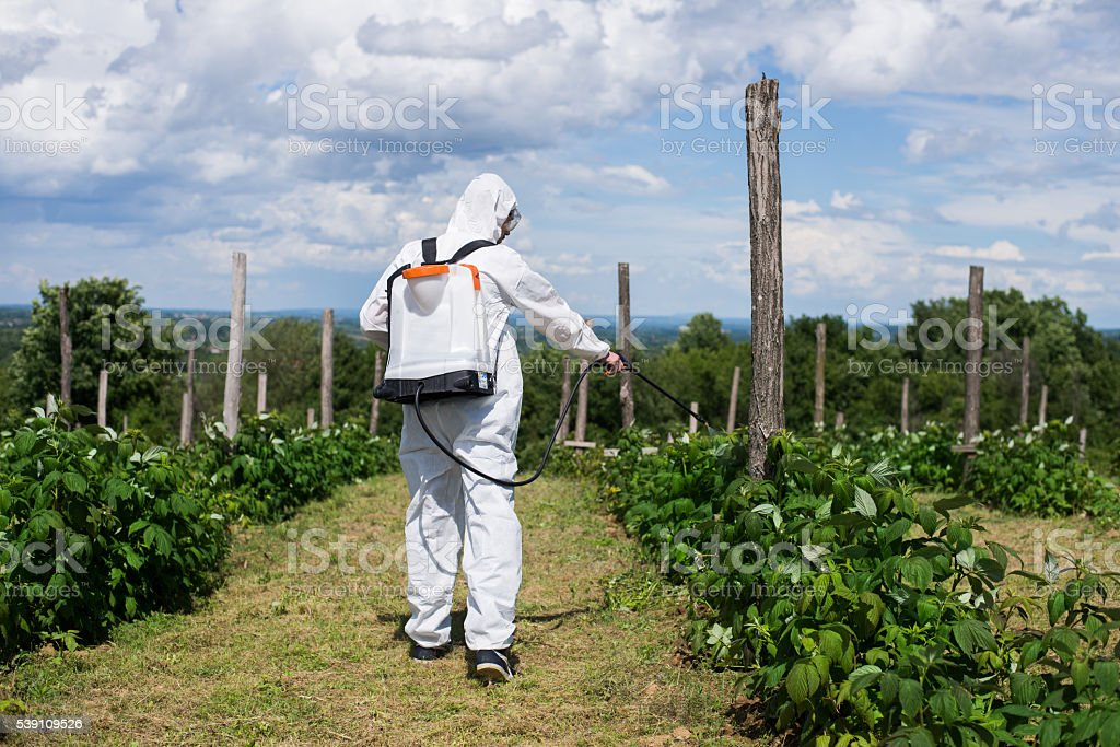 Man spraying chemicals on his raspberry field stock photo