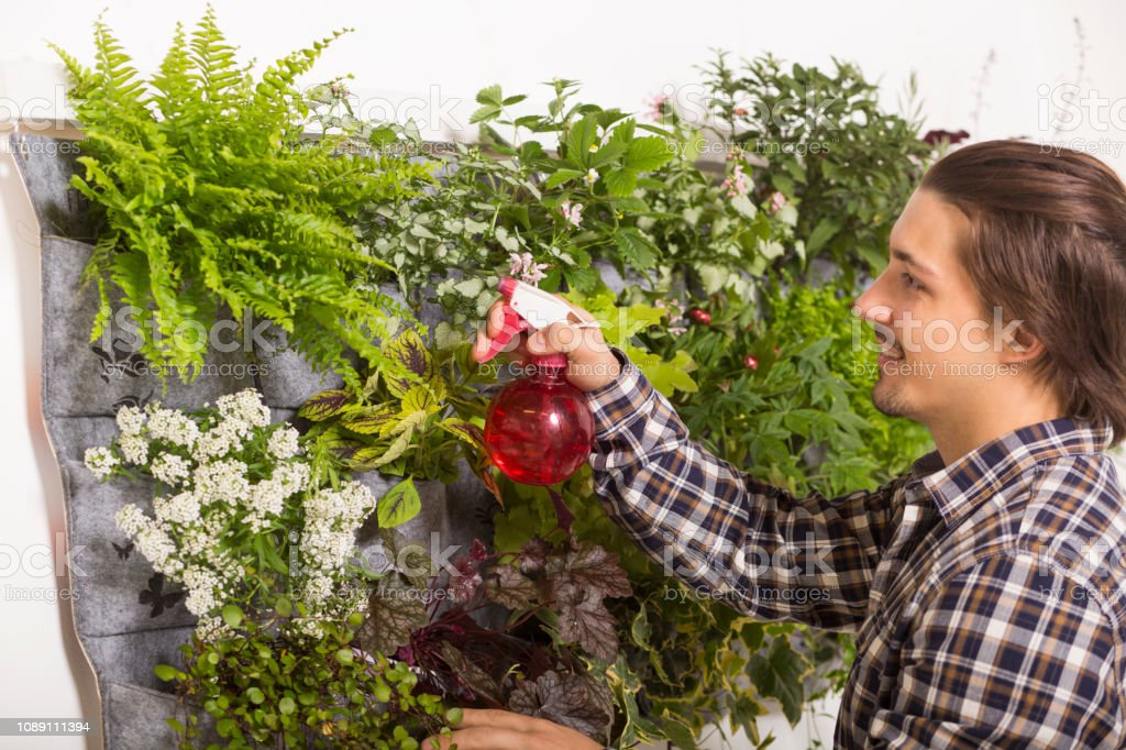 Man spraying his vertical garden Growing herbs in an apartment. Man is watering his plants on the wall. 20-29 Years Stock Photo