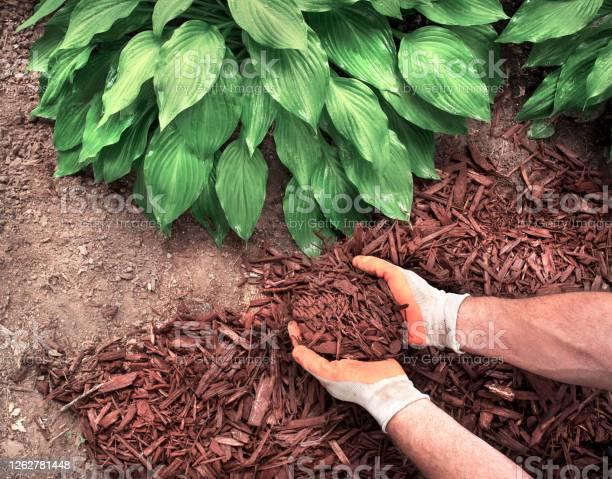 Photo of man spreading mulch around hosta plants in garden