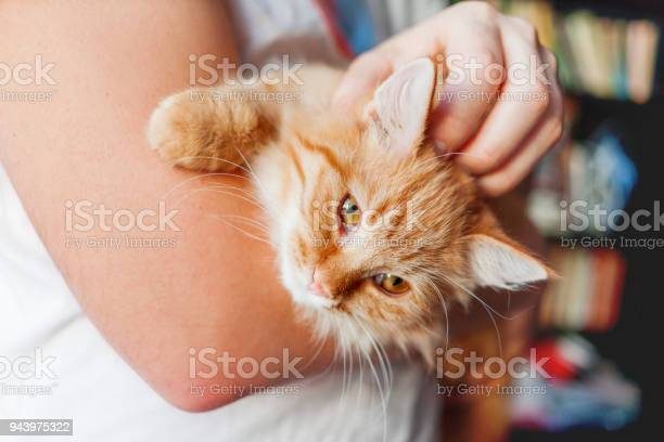 Man stroking a cute ginger cat fluffy pet frowning of pleasure cozy picture id943975322?b=1&k=6&m=943975322&s=612x612&h=eaanzvg kqdnep7bshiinwainfsb9289m1njow8zh0u=