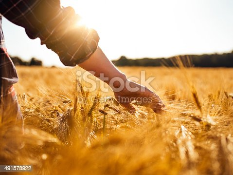 istock Man touching golden heads of wheat while walking through field 491578922