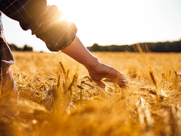 man touching golden heads of wheat while walking through field - field stock photos and pictures