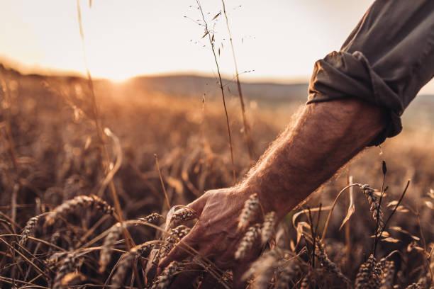Man touching wheat at the field stock photo