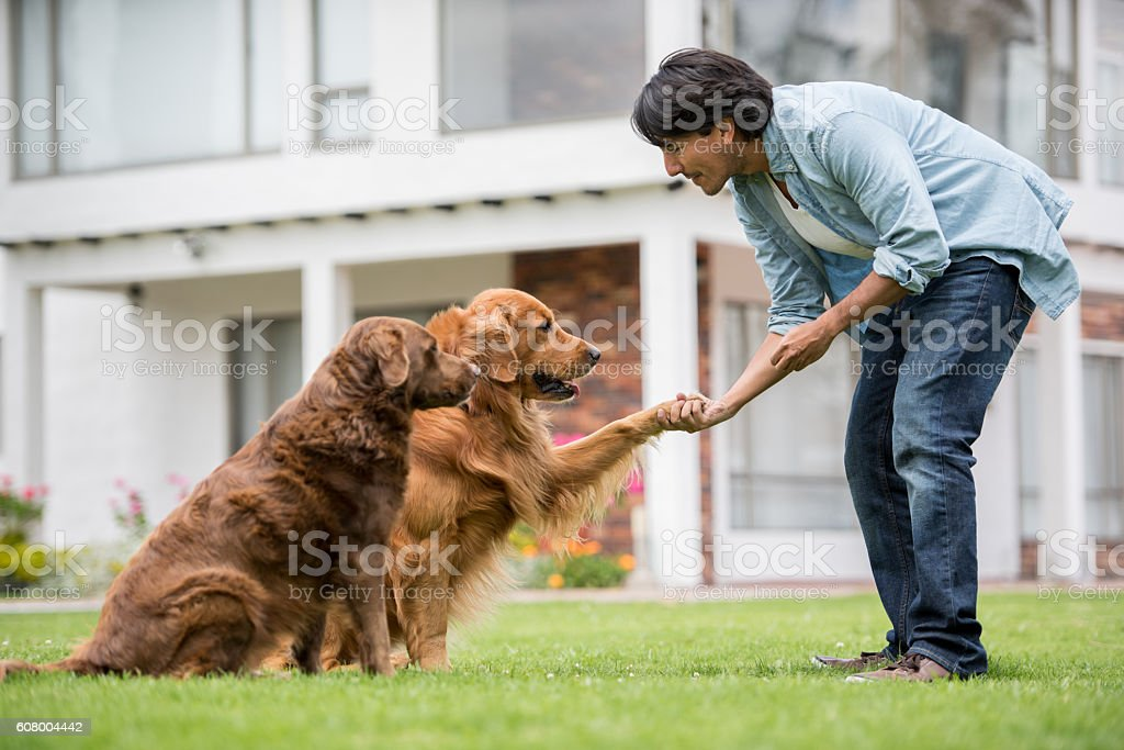 Man training a couple of dogs stock photo