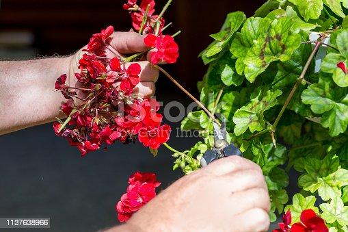 Man trimming dead geranium flowers with scissors. Gardening and maintenance concept. Landscape design.