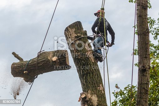 Frederick, Maryland, USA -- September 27, 2016: A highly technical activity, this experienced professional tree expert is positioned high up in a dead oak tree. He uses a large chain saw to cut off a limb of the tree before the entire tree is cut down. All of the limbs were removed and then the tree expert began the process of cutting down the tree trunk one section at a time.  In this photo, a large piece of the tree falls to the ground.