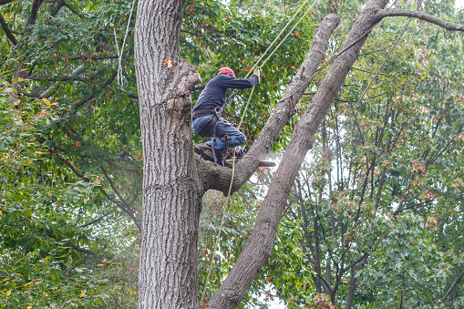 Man Using Chainsaw To Cut Limb From Dead Oak Tree Stock