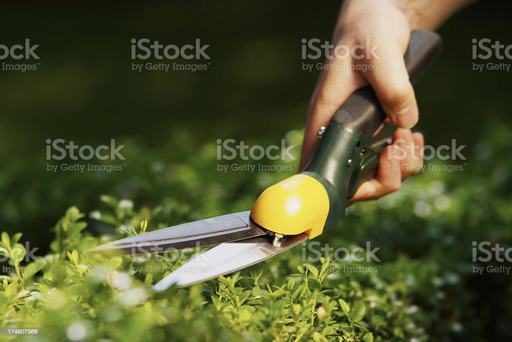 Man uses hedge clippers to trim hedge in garden